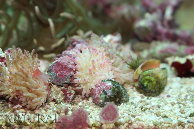 画像1: サンゴイソギンチャクS(セブ)