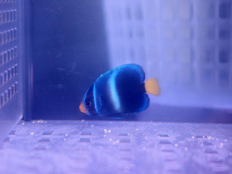 画像1: アフリカヌス ブルー02