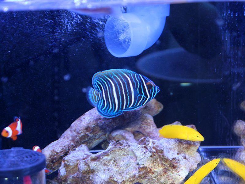 画像1: ブルーフェイスエンゼル幼魚