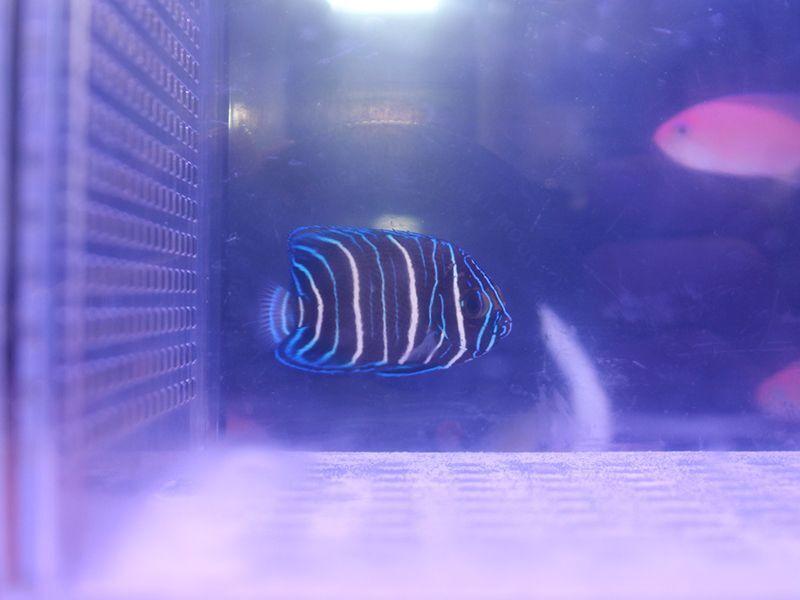 画像1: ブルーフェイスエンゼル幼魚02