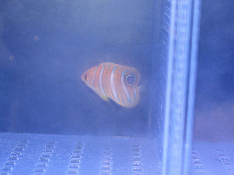 画像1: ニシキヤッコ(マニラ)幼魚01