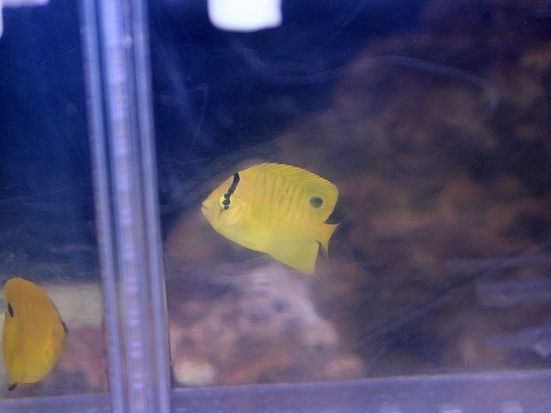画像1: シテンヤッコ幼魚02