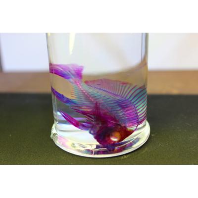 画像1: 透明標本 アミメチョウ
