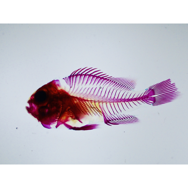 画像1: 透明標本 03セバエアネモネフィッシュ