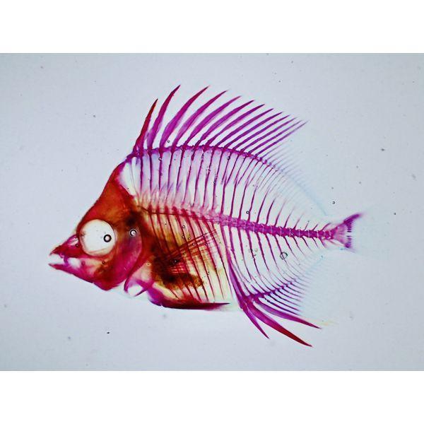 画像1: 透明標本 05カガミチョウ