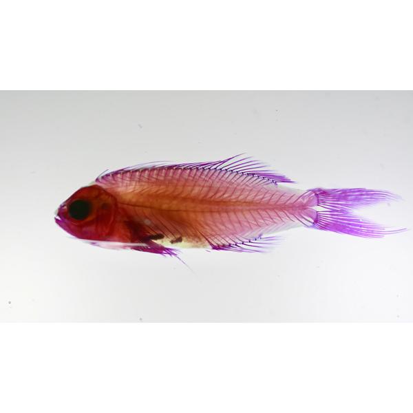 画像1: 透明標本 09スレッドフィンアンティアス