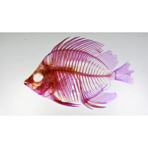 画像1: 透明標本 11アミメチョウ
