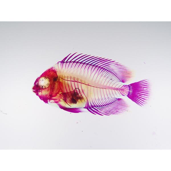 画像1: 透明標本 14キヘリキンチャクダイ