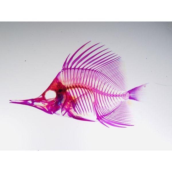 画像1: 透明標本 15フエヤッコ